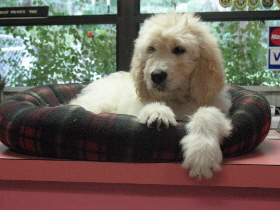 Goldendoodle Puppies For Sale Tampa Florida